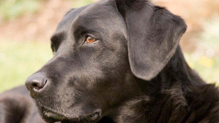 STUDIU: Câinii labrador cu blana ciocolatie trăiesc mai puţin decât semenii lor aurii şi negri