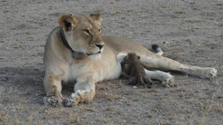 Incident la o grădină zoologică din SUA. O leoaică şi-a sufocat partenerul muşcându-l de gât