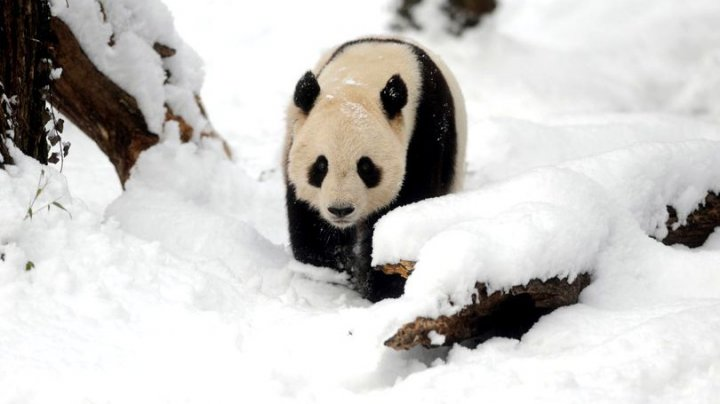 ATÂT DE DRĂGĂLAŞI! Cum se bucură doi urşi panda când văd prima dată zăpadă în acest sezon (VIDEO)