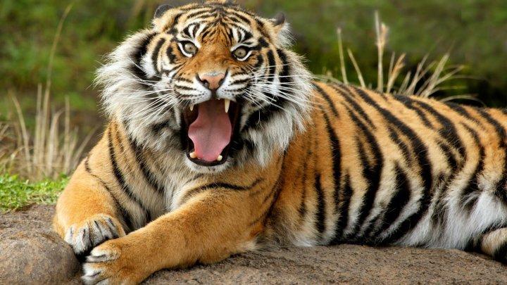 ÎNGROZITOR: O fetiță de șapte ani a fost atacă de tigrul familiei