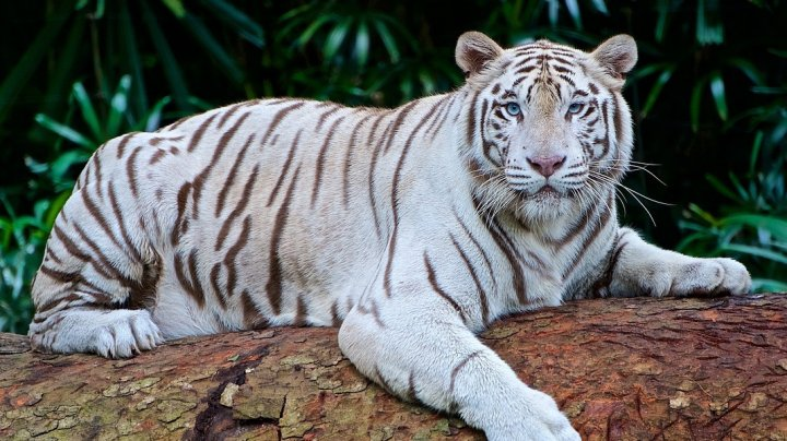 Un îngrijitor de la o grădină zoologică a fost ucis de un exemplar rar de tigru alb