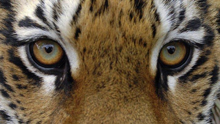 Locuitorii unui sat indian au bătut PÂNĂ LA MOARTE un tigru, care a atacat un om
