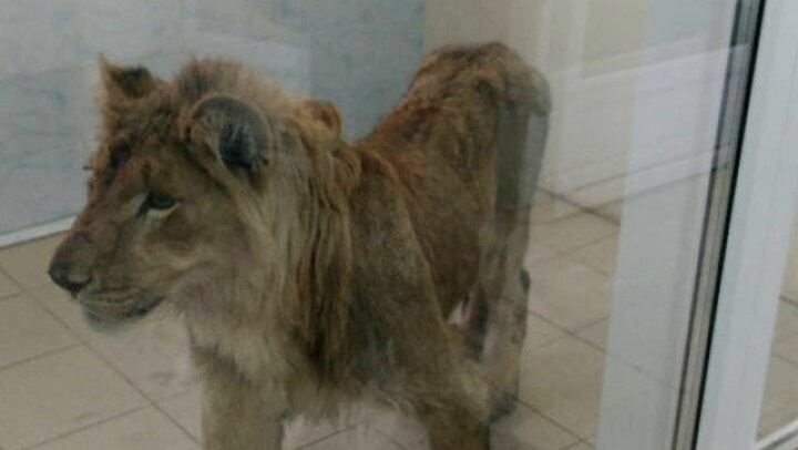 Un leu slăbit a fost găsit în apropierea unui oraş din Rusia. Poliţia caută stăpânii