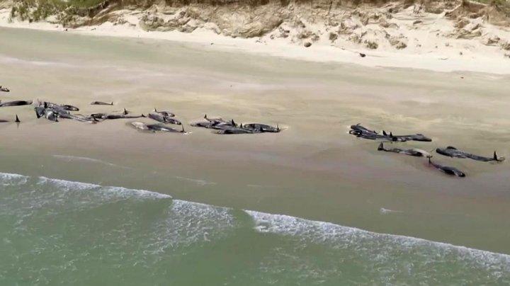 Încă 51 de balene-pilot au eşuat pe o plajă din Noua Zeelandă