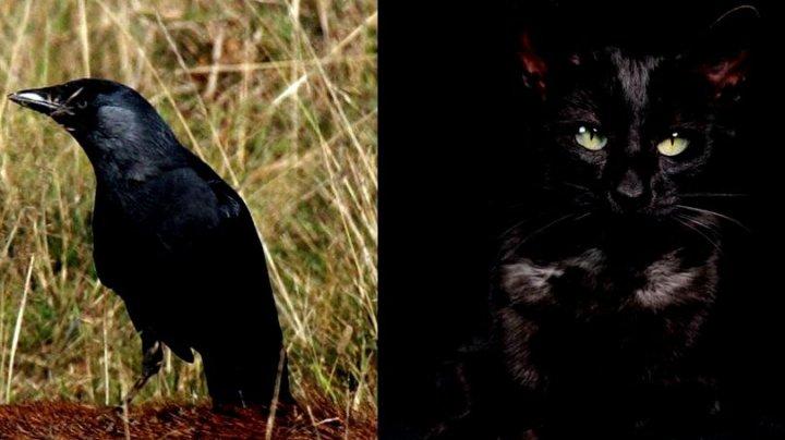 Iluzia optică ce a pus internetul pe jar. Cioară sau o pisică (FOTO)