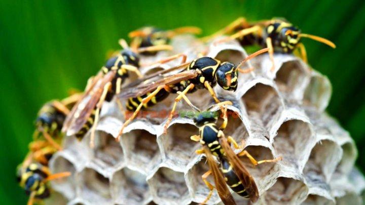 74 de înţepături de viespi: O bătrână americană a rămas în viaţă după un atac al insectelor