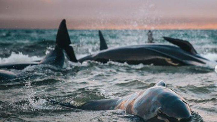 Mărturiile turistei care a descoperit 145 de balene eşuate pe plajă: Nu o sa uit cum plângeau