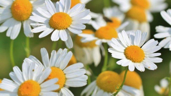 Bine de ştiut! Plante recomandate împotriva migrenei