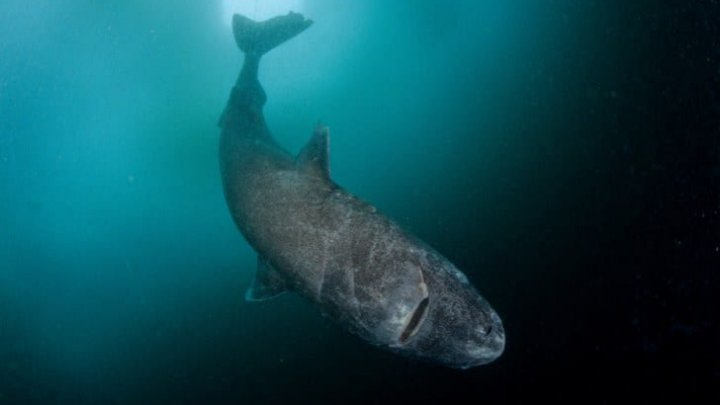 DESCOPERIRE INCREDIBILĂ în Oceanul Atlantic. Oamenii de ştiinţă au găsit CEL MAI BĂTRÂN RECHIN DIN LUME (FOTO)