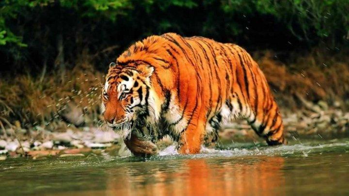 STUDIU: Tigrii siberieni sunt cu 40% mai activi în zona de frontieră între China şi Rusia