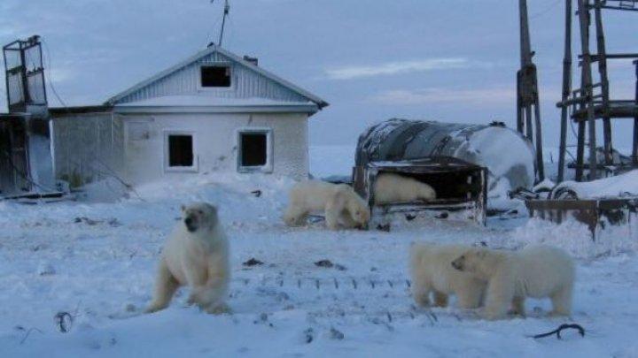 Zeci de urşi polari, în vizită într-un sat din Orientul Îndepărtat al Rusiei