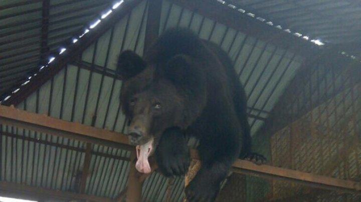 INCIDENT ȘOCANT în Rusia. Un urs a smuls mâna unei femei şi a mâncat-o (FOTO)