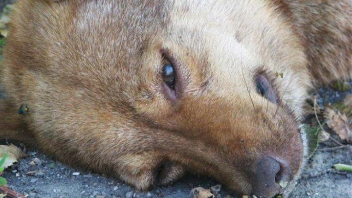 CAZ ȘOCANT în Drochia! Un câine fără stăpân a fost lăsat să moară în chinuri groaznice după ce ar fi fost otrăvit