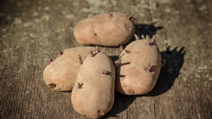 Cât de periculoși sunt cartofii încolțiți şi cum trebuie depozitate aceste legume iarna