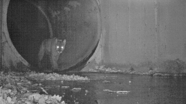 Final tragic! O pumă celebră şi îndrăgită de locuitorii statului California, victimă a INCENDIILOR TERIBILE (FOTO)
