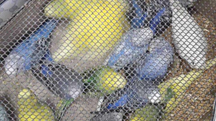 """Contrabandă """"vie şi colorată"""". 148 de papagali """"reţinuţi"""" la frontieră (FOTO)"""