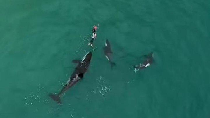 O dronă a capturat MOMENTUL TERIFIANT în care o înotătoare a fost încercuită de balene ucigașe (VIDEO)