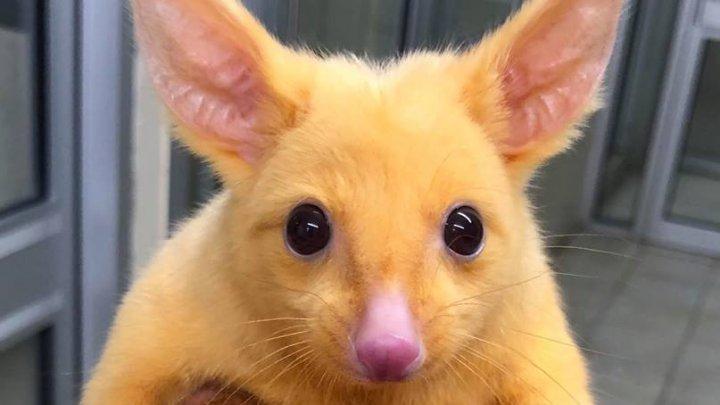 Pikachu ESTE REAL. Un oposum auriu, dintr-o specie rară, a fost găsit în Australia
