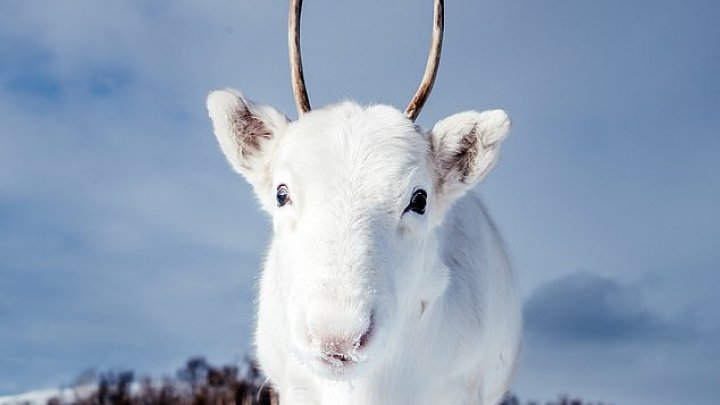 IMAGINI CARE FAC ÎNCONJURUL LUMII. Un pui de ren alb, extrem de rar, suprins de un fotograf în Norvegia