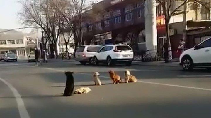 EMOŢIONANT! Patru câini blochează traficul, apoi șoferii își dau seama că protejează corpul unui prieten lovit de mașină (VIDEO)