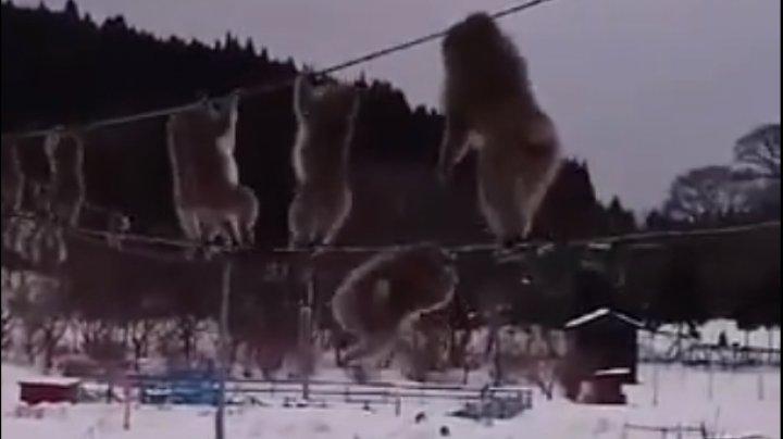 Mai multe maimuțe din Japonia, filmate în timp ce alergau pe cabluri, deasupra unui câmp (VIDEO)