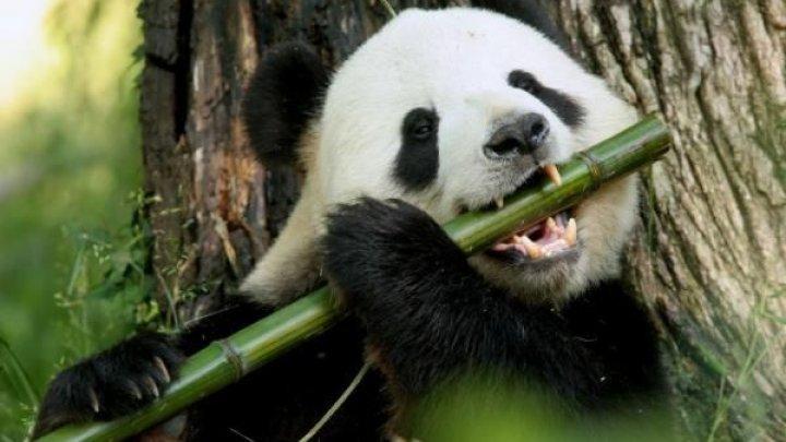 Plombe dentare, inspirate de la urşii panda