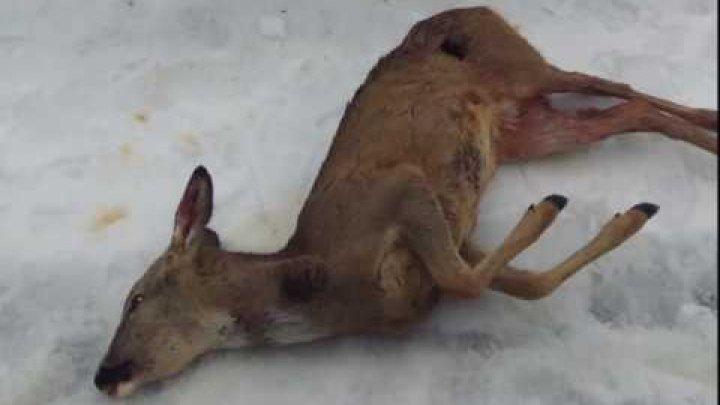 Braconaj în rezervaţia Codrii din satul Lozova. Cinci căprioare au fost ucise şi astupate cu zăpadă. Ce pedeapsă riscă făptaşii