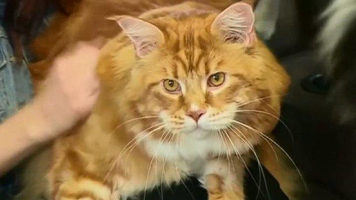 Primul stat american care a interzis practica extirpării ghearelor pisicilor