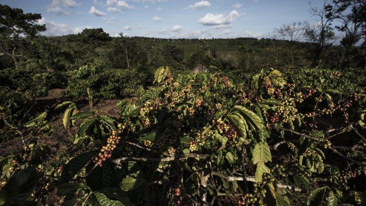 AVERTISMENT: 60% din speciile de cafea sunt pe cale de dispariție
