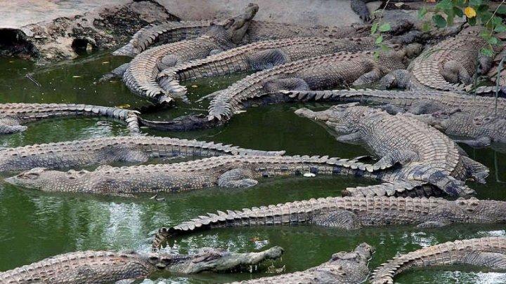 PANICĂ în Australia. Crocodilii au ieșit pe străzi, după ce a plouat șapte zile cât într-un an întreg (VIDEO)