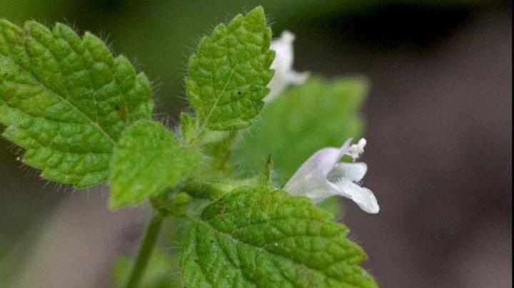 Planta anti-Alzheimer. Beneficiile roiniţei