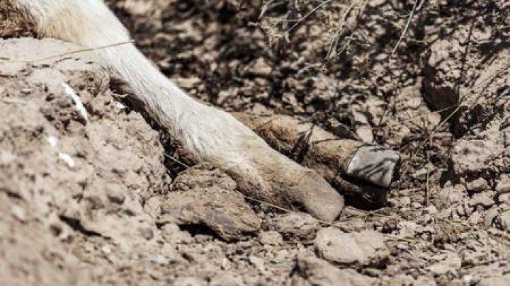 Răzbunare DUPĂ MOARTE: Un bărbat a fost GRAV lovit de o vacă sacrificată
