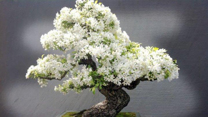 Un HOȚ de POMI a furat un bonsai în valoare de 100 DE MII de dolari în Japonia