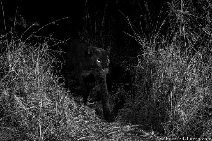 IMAGINI ULUITOARE! Un animal extrem de rar, fotografiat pentru prima dată în 100 de ani