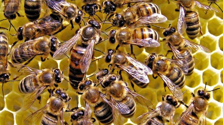 Oamenii de ştiinţă din Rusia sunt alarmaţi de moartea în masă a unor colonii de albine din cauza utilizării necontrolate a pesticidelor