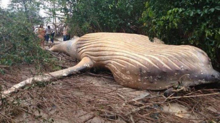 DESCOPERIRE TERIFIANTĂ în jungla amazoniană. Cum a ajuns o balenă MOARTĂ atât de departe de mal? (FOTO)
