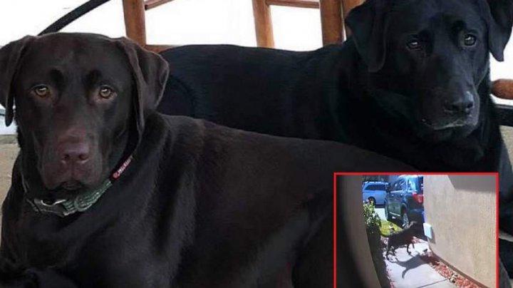 Doi labradori i-au salvat viaţa stăpânei, după ce aceasta a suferit un atac vascular și s-a prăbușit la pământ (VIDEO)