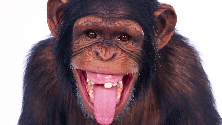 """""""Nu fugi, maimuță mică și rea!"""": Reacția unui copil la ESCAPADA cimpanzeilor dintr-o grădină zoologică din Belfast (VIDEO)"""