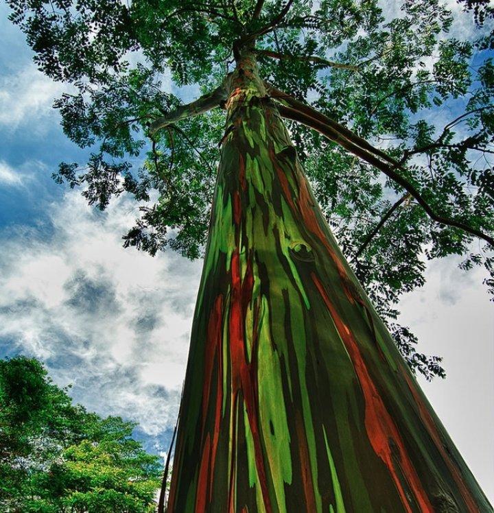 COPACI SPECTACULOŞI! Cum arată eucaliptul curcubeu, care ajunge la înălţimea de 80 de metri (VIDEO/FOTO)