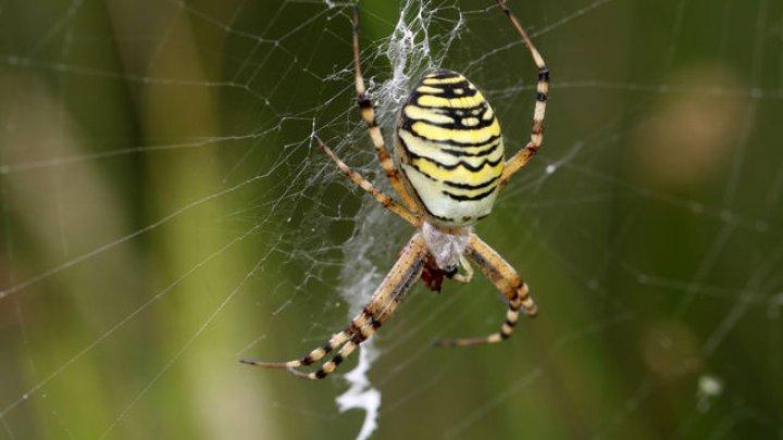 ADEVĂR ÎNFRICOŞĂTOR: Dacă toți păianjenii ar lucra împreună, ar putea mânca toți oamenii într-un an