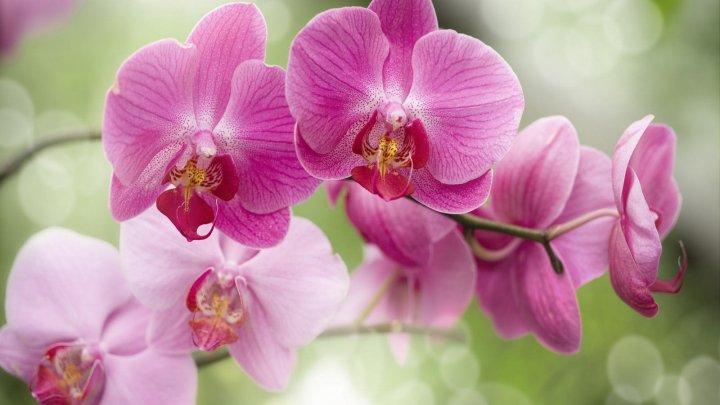 Elegante și pline de flori! Sfaturi despre cum se îngrijesc corect orhideele