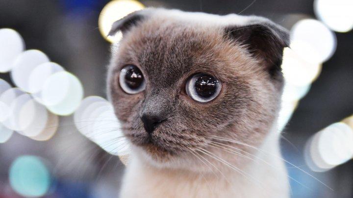 IMAGINI IREZISTIBILE de la concursul celor mai frumoase pisici de rasă din Rusia