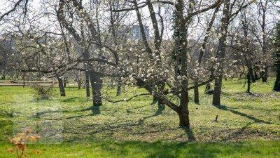 Recolta de fructe, ÎN PERICOL! Mai mulţi copaci în floare sunt afectaţi de ploi