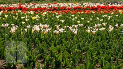 ZIUA LALELELOR ÎN OLANDA: Peste 200 mii de flori, aduse într-o piață din Amsterdam