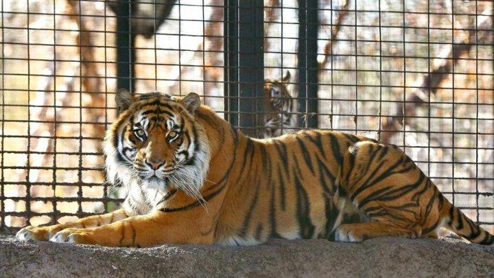 Un tigru de la grădina zoologică din Kansas, SUA, şi-a ATACAT ÎNGRIJITOAREA. Femeia e MUTILATĂ