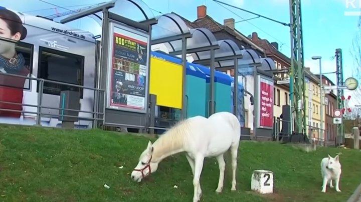 Un cal din Germania se plimbă pe străzi în fiecare zi, de 14 ani