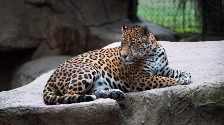 Primul jaguar din lume conceput prin inseminare artificială a fost mâncat de mama sa (VIDEO)
