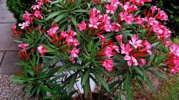 Bine de știut! Planta care ne OTRĂVEŞTE! Din păcate, multă lume o ține în casă