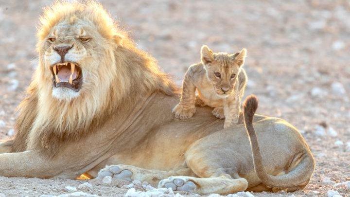 Un braconier şi-a GĂSIT SFÂRŞITUL la vânătoare. A fost ucis de un elefant, apoi MÂNCAT DE LEI