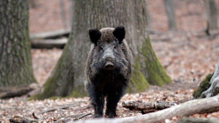 ANSA, despre noul focar de pestă porcină: Animalele s-ar fi infectat după ce porcii sălbatici bolnavi din România au traversat hotarul